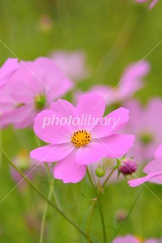 5048820 コスモス ピンク色