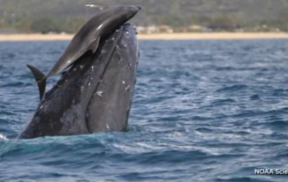 クジラに乗ったいるイルカの写真2