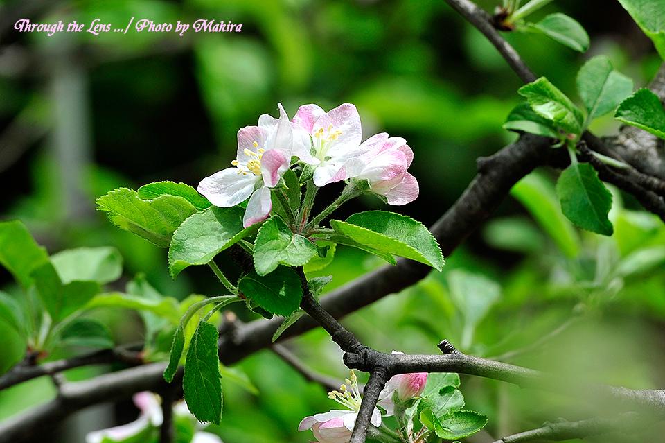 リンゴ'ふじ'1
