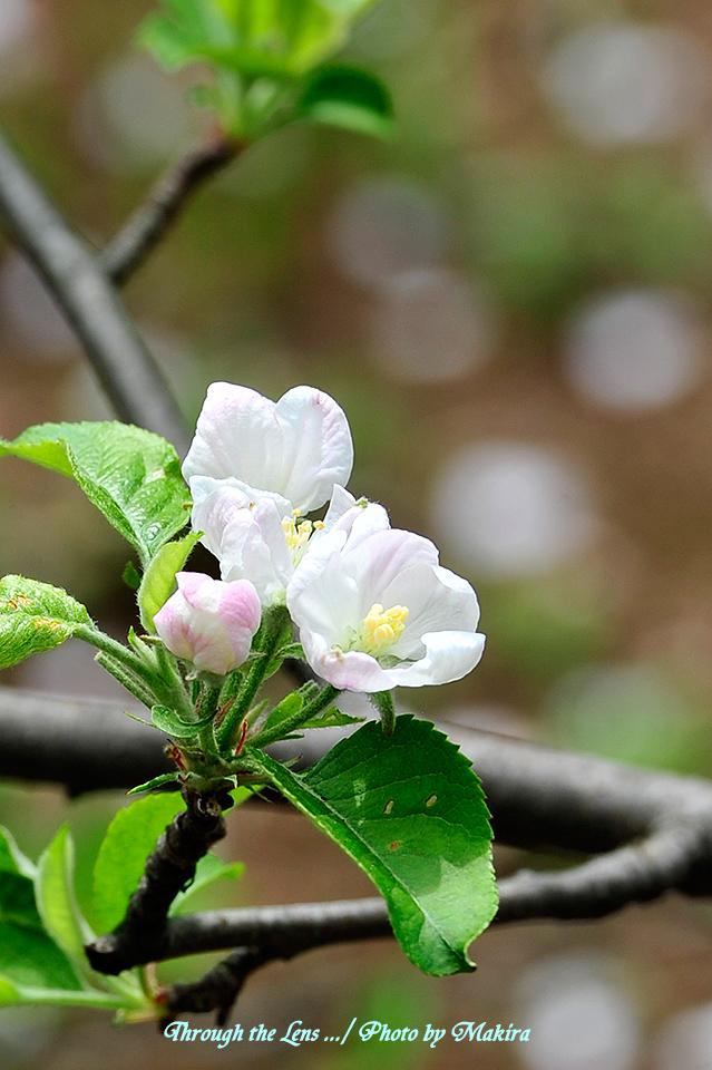 リンゴ'ふじ'3