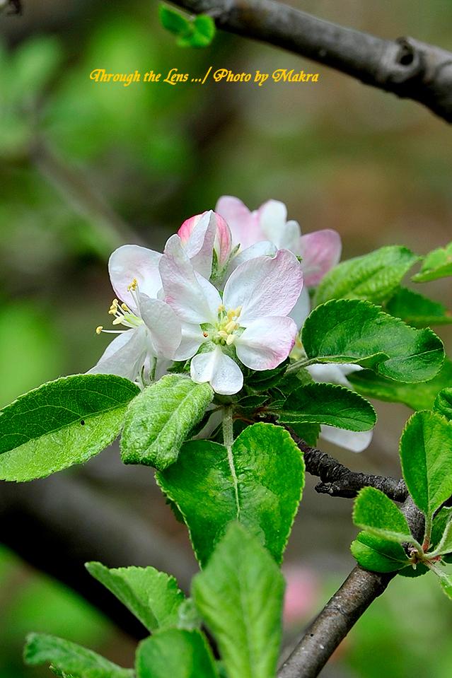 リンゴ'蕨'1