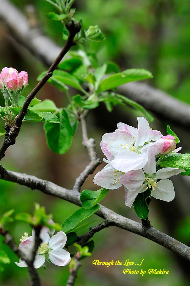 リンゴ'蕨'2
