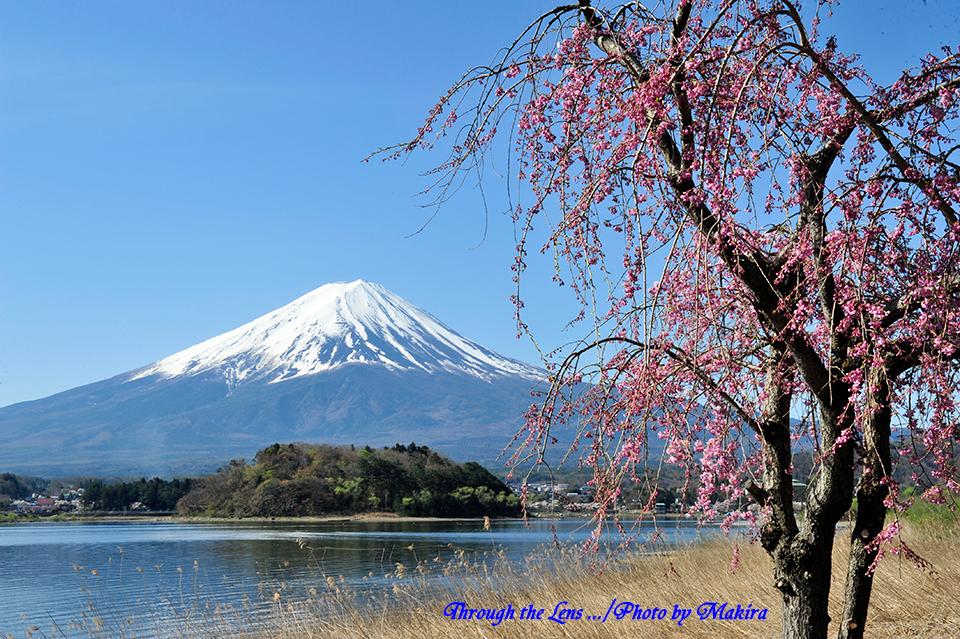 枝垂桜と1