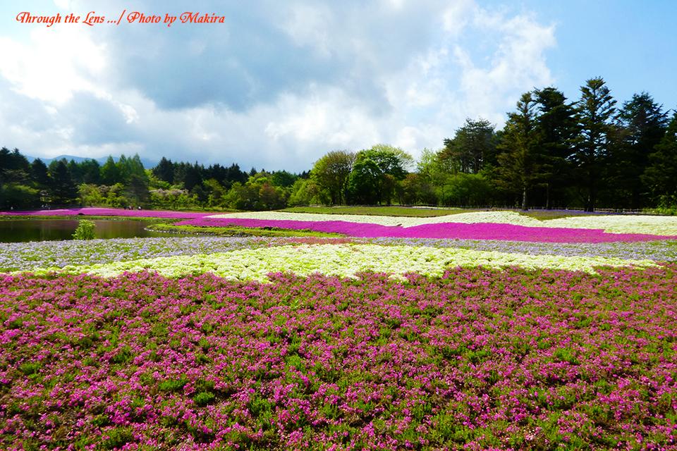 芝桜と富士山(?)TZ1