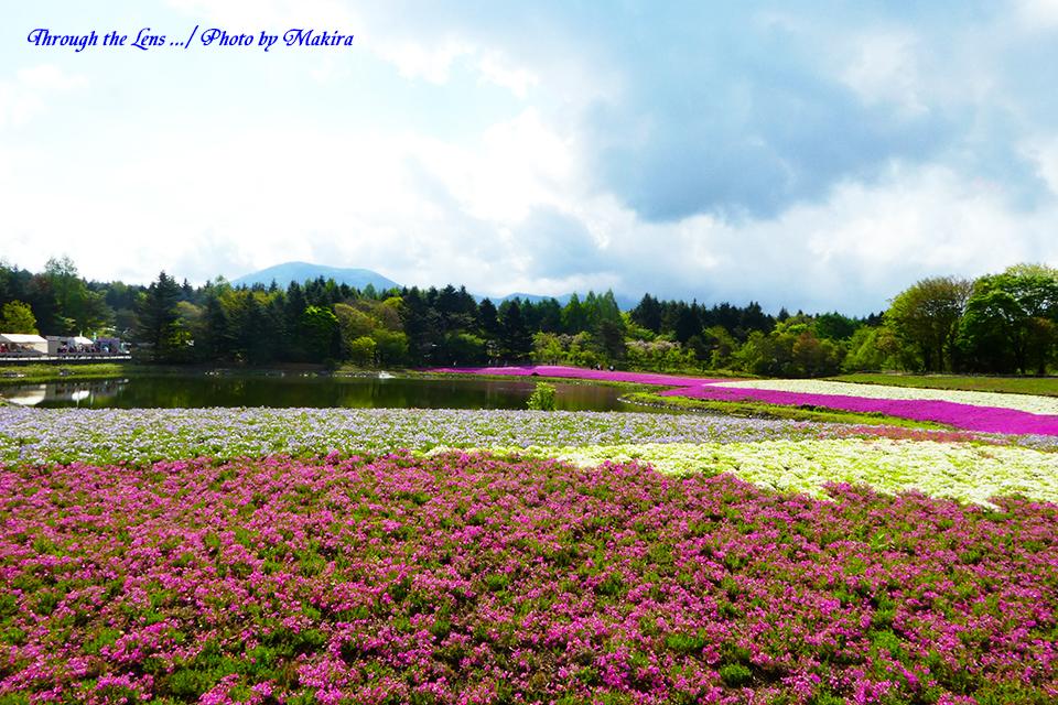 芝桜と富士山(?)TZ2