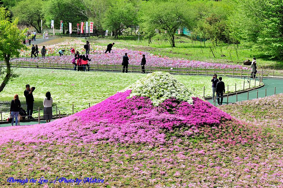 芝桜富士山1