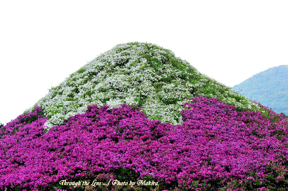 芝桜富士山2