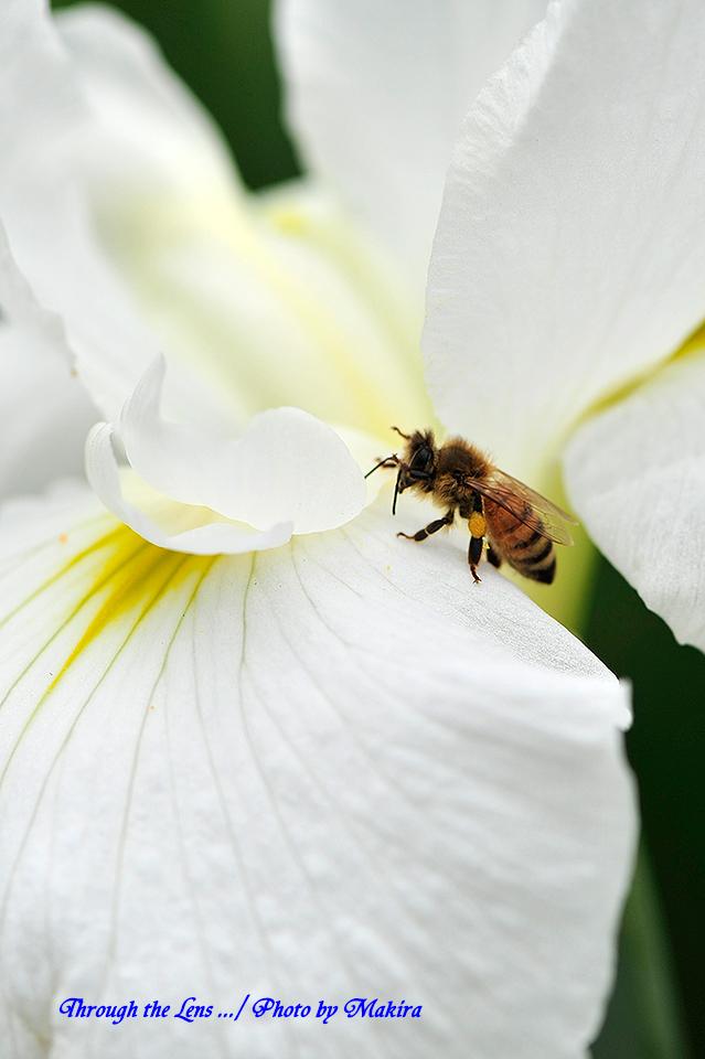ハナショウブとミツバチ1
