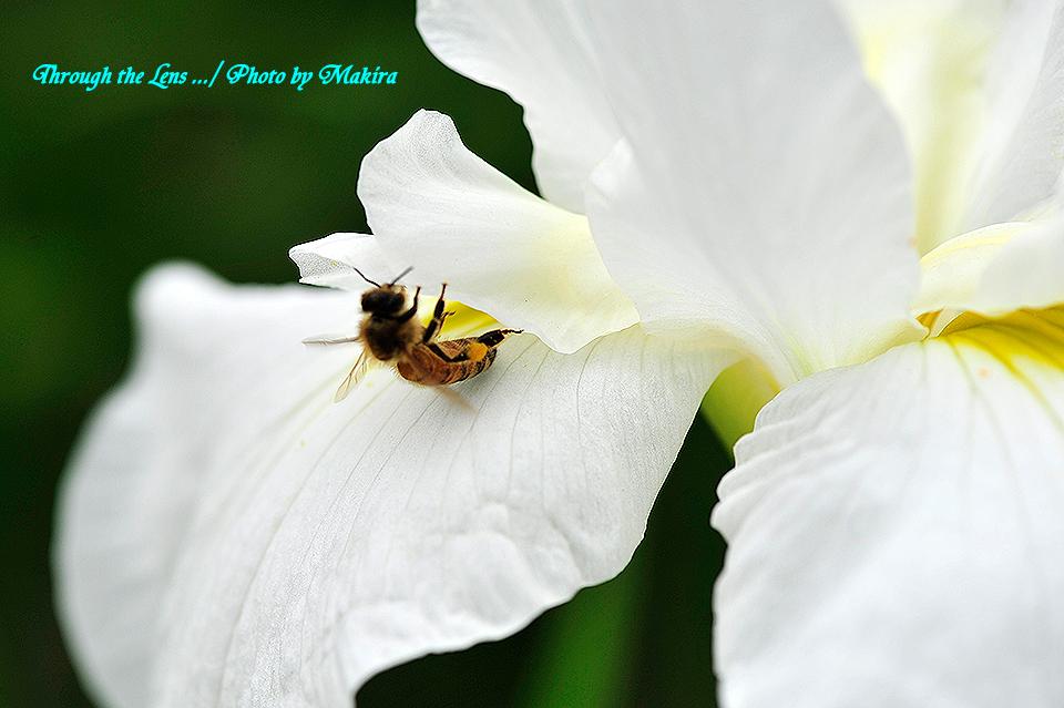 ハナショウブとミツバチ2