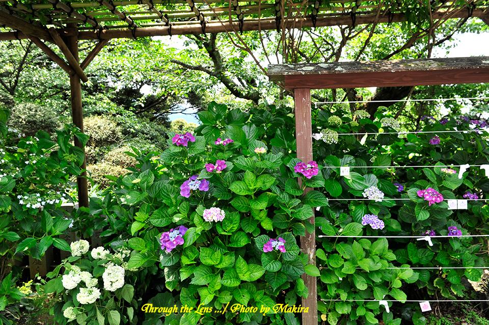 紫陽花とおみくじ1