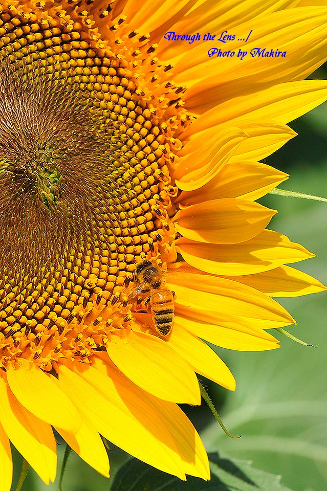 ヒマワリと蜜蜂1