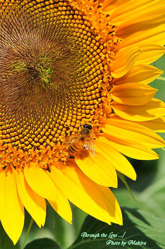 ヒマワリと蜜蜂2