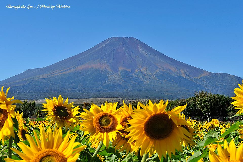 富士山と向日葵4
