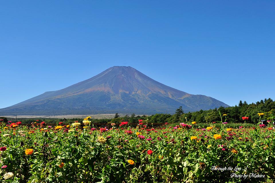 富士山と百日草1