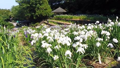 0619irisflowers0101.jpg