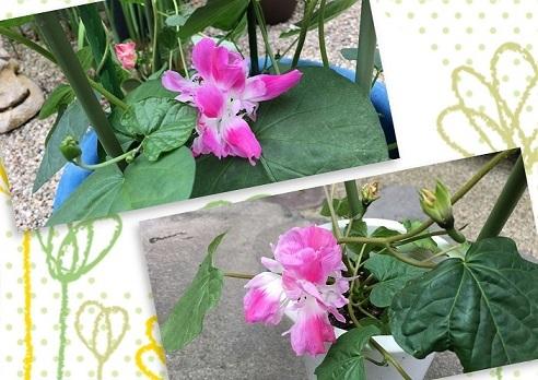 W咲き朝顔 開花