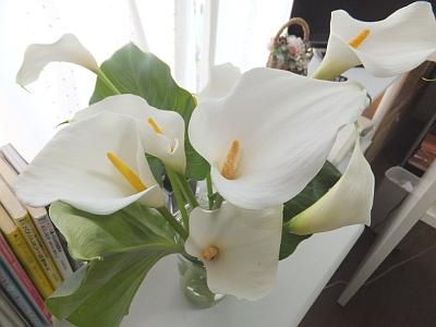 カラーのお花