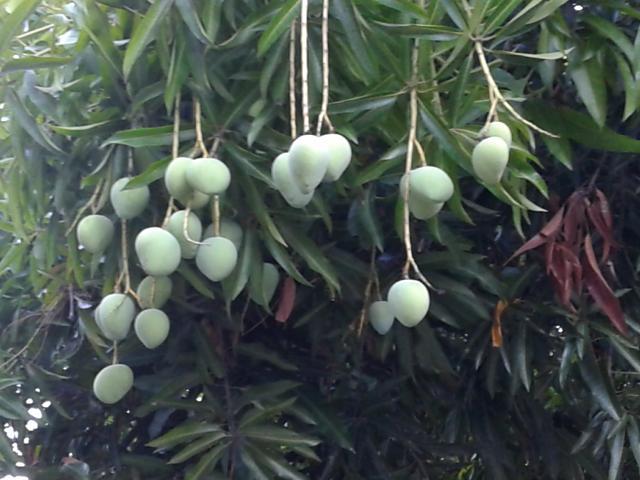 マンゴ1-2