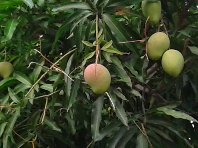 マンゴ 2-2