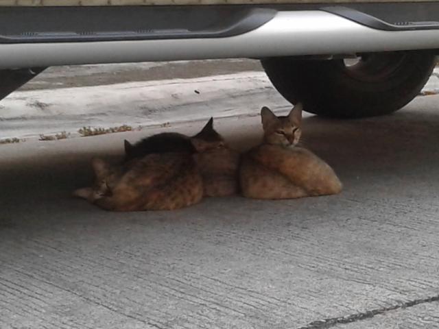 車の下のネコ