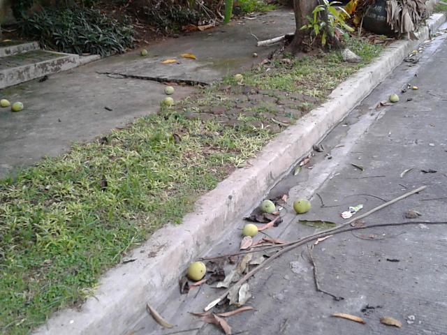 落ちたマンゴー