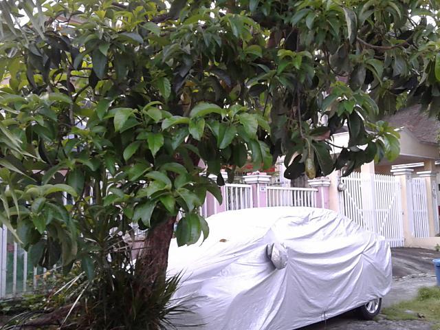 アボガドの木