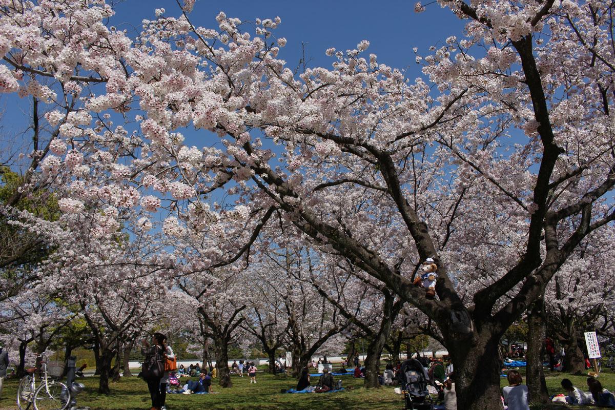 駿府城公園 満開の桜の木に登るDuffy 170413