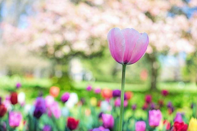 tulips-2289976_640.jpg