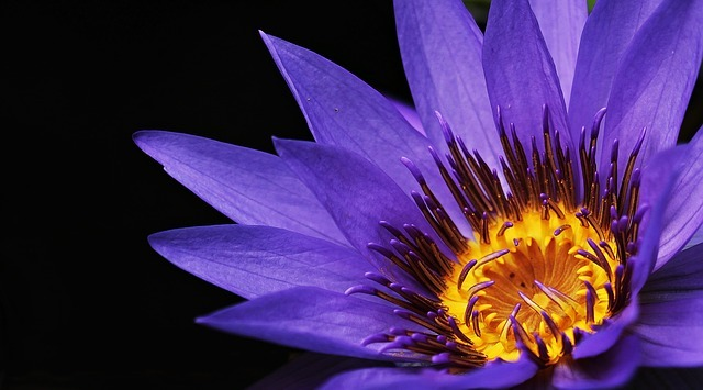 water-lily-2334209_640.jpg