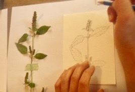 植物画・描いてる