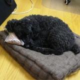 フードを枕に寝るケンジ