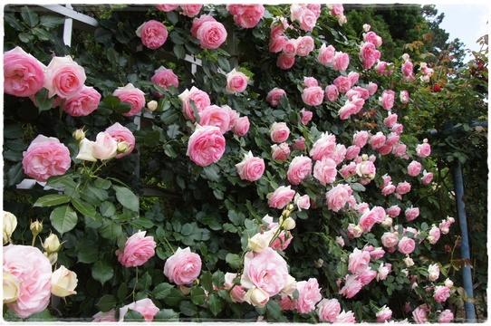 rosegarden11.jpg