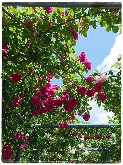 rosegarden15.jpg