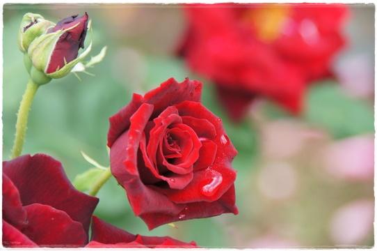 rosegarden19.jpg