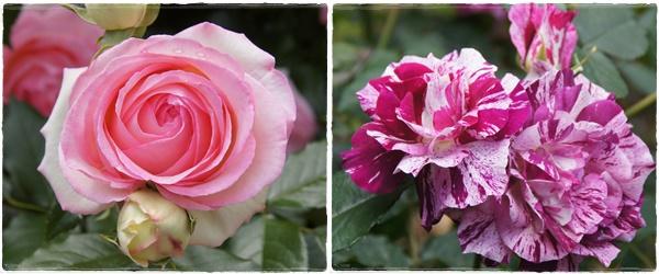 rosegarden20.jpg