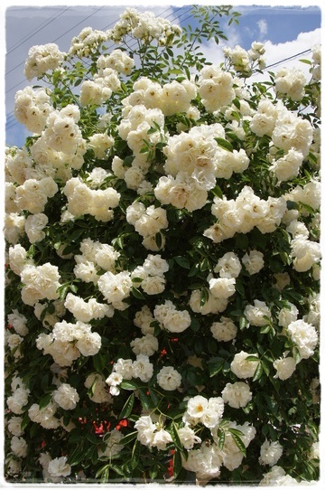 rosegarden8.jpg