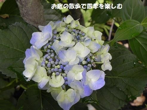 ajisai30_2017062811160932a.jpg