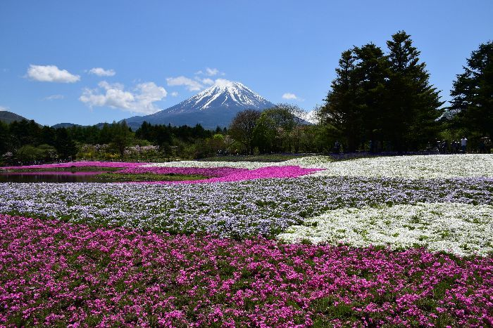 002-富士芝桜まつり