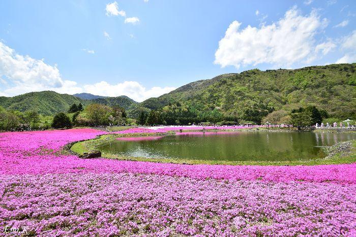 037-Emi-富士芝桜まつり
