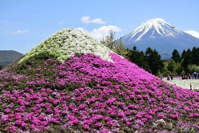 021-Emi-富士芝桜まつり