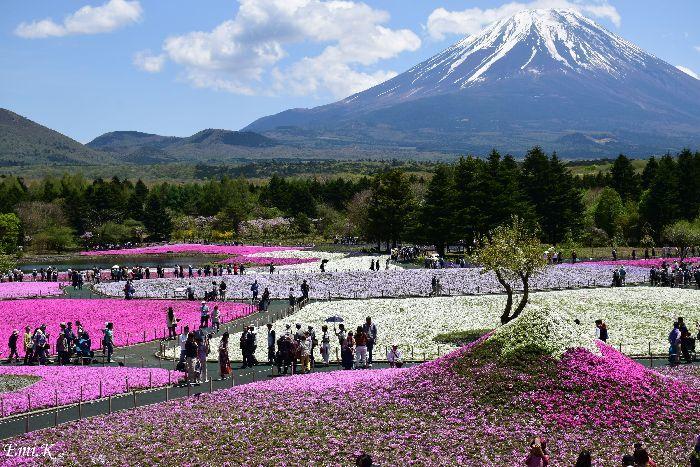 022-Emi-富士芝桜まつり