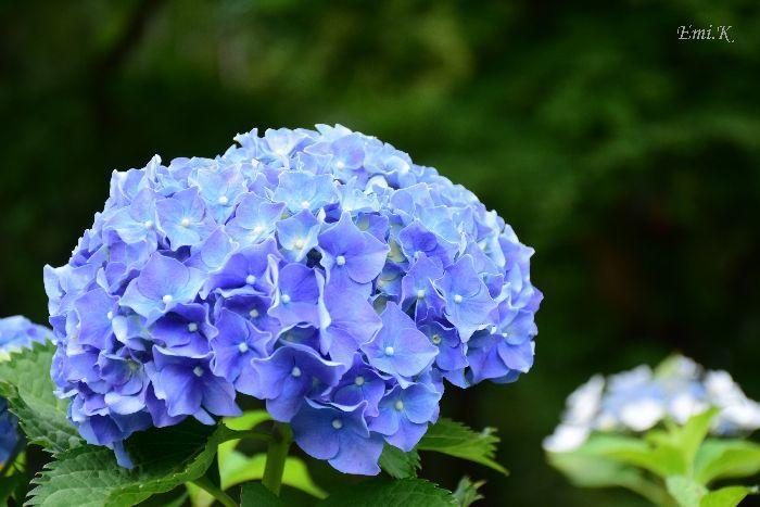 134-Emi-紫陽花