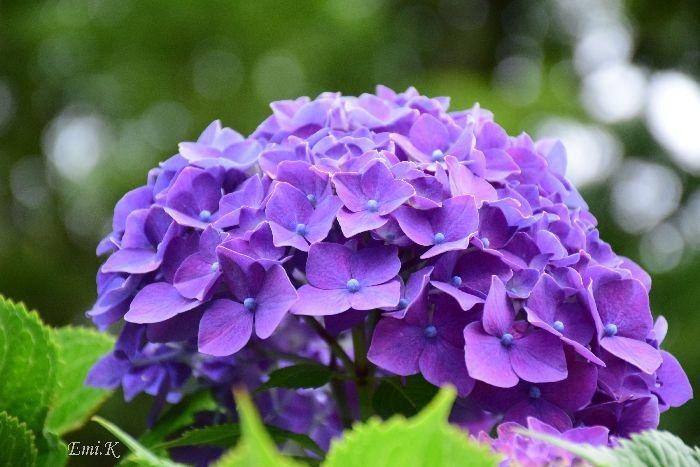 186-Emi-紫陽花