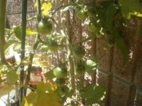 青いミニトマトが鈴なり