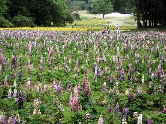 17.5.9 森林公園・ルピナスほか花など (94)