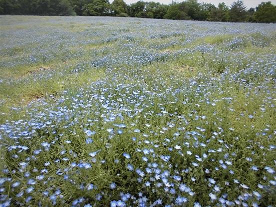 17.5.9 森林公園・ルピナスほか花など (36)