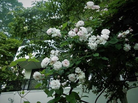 17.5.20 ・北浦和・上野・橋田先生宅 IMG9013 (41)