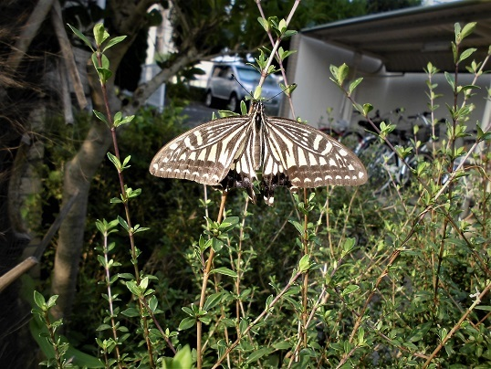 17.7.20 散歩のクモと蝶 (25)