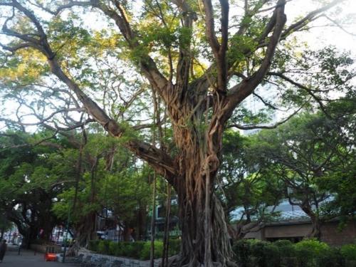 29hongkongtree.jpg