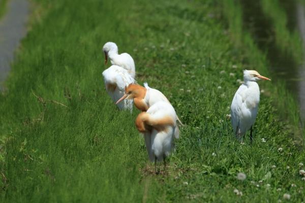 アマサギ安曇野